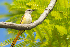 Female Fiery Minivet Stock Photos