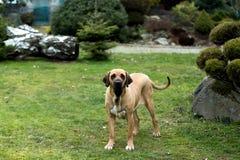 Female of Fila Brasileiro (Brazilian Mastiff) Stock Photo