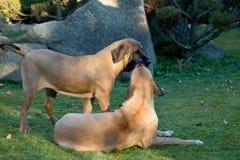 Female of Fila Brasileiro (Brazilian Mastiff) Stock Image