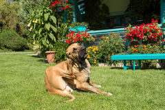 Female of Fila Brasileiro (Brazilian Mastiff) Stock Images