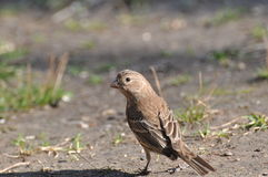 Female finch Royalty Free Stock Images