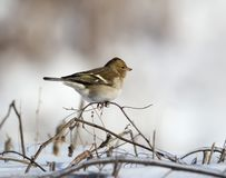 A female finch sits on a thin branch royalty free stock photo
