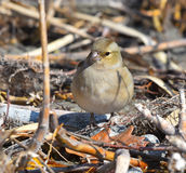 Female finch stops on the lawn. Looking in the foreground Royalty Free Stock Photo
