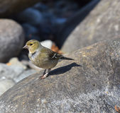 Female finch stops on the stone. Looking Stock Image