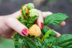 Female fingers holding large raspberry Royalty Free Stock Images
