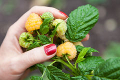 Female fingers holding large raspberry Stock Images