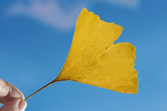 Female fingers holding one yellow ginkgo leaf Royalty Free Stock Image