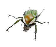 Female Flamboyant Flower Beetle Stock Photos
