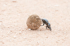 Female flightless dung beetle rolling dung ball. A female flightless dung beetle, Circellium bacchus, rolling a dung ball with its hind legs Stock Images