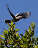 Female Florida Blue Jay Launch Stock Photography