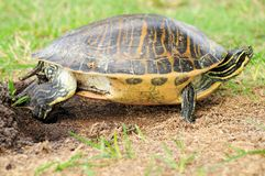 Turtle covering egg Royalty Free Stock Images