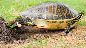 Florida cooter turtle laying egg Royalty Free Stock Photos