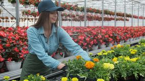 Female florist in apron examining and arranging flowerpot with red poinsettia on the shelf. Young woman in the. Greenhouse with flowers checks a pot of red stock video footage