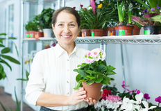 Female florist with auricula (Primula) Stock Photography