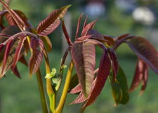 Female flower walnut Royalty Free Stock Image