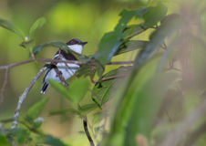Female Forest Batis Stock Photography