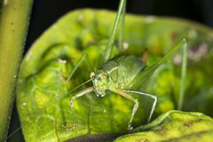 Fork tailed bush katydid nymph on milkweed leaf in Connecticut. Female, fork tailed bush katydid, Scudderia furcata, with prominent ovipositor on milkweed plant stock photos