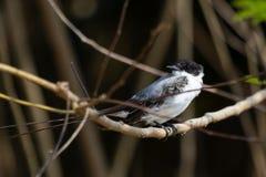 Female Fork-tailed Flycatcher Stock Photos
