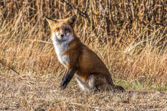 Female Fox 7295. Female fox taking a break from hunting for food along the beach Stock Image