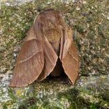 Female Fox moth - Macrothylacia rubi Stock Photos
