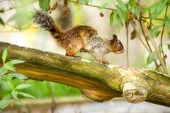 Female Fox Squirrel. In Natural Habitat Ecuadorian Rainforest Royalty Free Stock Photos
