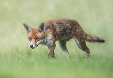Female fox in summer time Stock Images