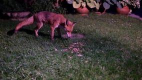 Female fox, Vixen, feeding. Female fox, Vixen, feeding in urban house garden at night stock video footage