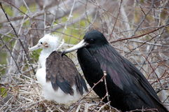 Female frigate bird with chick. Photo taken on Seymour Island,Galapagos Stock Photos