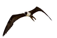 Female Frigate Bird In Flight Stock Images