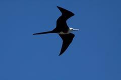 Female frigate bird flying around Machalilla. National Park, Manabi, Ecuador Stock Images
