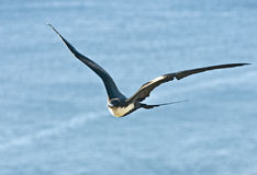 Female Frigate Bird (Fregata Minor) Stock Images