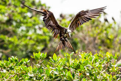 Female Frigate Bird Landing Royalty Free Stock Image