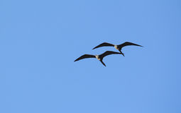 Female Frigate Birds Stock Photo