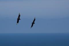 Female frigate birds flying around Machalilla. National Park, Manabi, Ecuador Stock Images