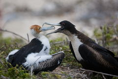 Female Frigatebird feeding young Royalty Free Stock Photography