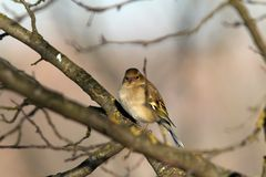 Female fringilla coelebs in winter plumage Royalty Free Stock Photography