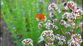 Female Fritillary butterfly stock footage