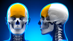 Female Frontal Bone Skull Anatomy - blue concept. By decade3d Royalty Free Stock Photography