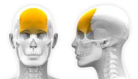 Female Frontal Bone Skull Anatomy - isolated on white Stock Photos
