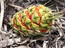 Female fruit cone Australian cycad Royalty Free Stock Photography