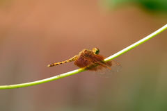 Female Fulvous Forest Skimmer (Neurothemis fulvia). Beautiful female Fulvous Forest Skimmer (Neurothemis fulvia) in Thai forest Royalty Free Stock Image