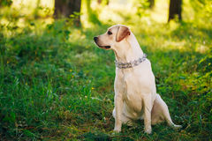 Female Funny White Labrador Retriever Dog Sitting Stock Photography