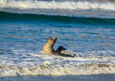 Australasian fur seal frolicking on the beach and in the ocean, Otago, New Zealand. Female fur seal crying out in the surf looking for someone to play with Stock Photo