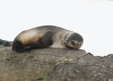 Female fur seals. Female fur seals lying on rocks Royalty Free Stock Photo