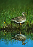 Female Gadwall Reflection Stock Image