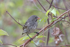 Female Galapagos Ground Finch Royalty Free Stock Photos