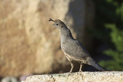 Female Gambel's(california) Quail Royalty Free Stock Photography