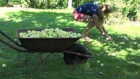 Female garden worker in shorts gathering windfall rotten apple fruits to wheelbarrow. 4K