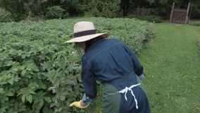 Female gardener bringing wooden box and checking potatoes plants. In summer day stock footage