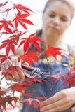 Female gardener clipping maple branch Stock Photos